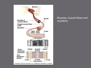 Muscles, muscle fibres and myofibrils