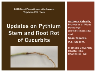Updates on Pythium Stem and Root Rot of Cucurbits