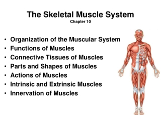 The Skeletal Muscle System