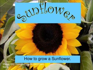 Step by step instructions to grow a Sunflower.